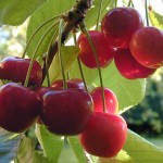 Who knew: cherries are high in melatonin